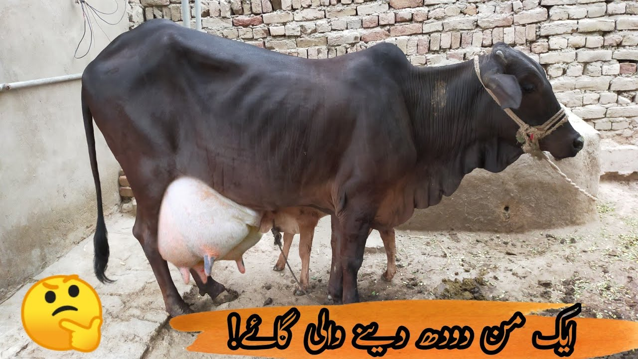 cow 40kg giving milk in two time