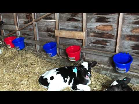 Introduction to the Holstein Calves