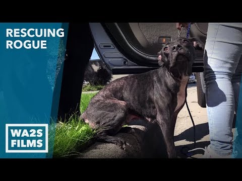 Dog Sick & Mange Infested Rescued from Crack-Head: Ep #6 Rescuing Rogue w Detroit Pit Crew