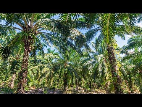 Malaysian palm oil farmers struggle as demand, prices slump