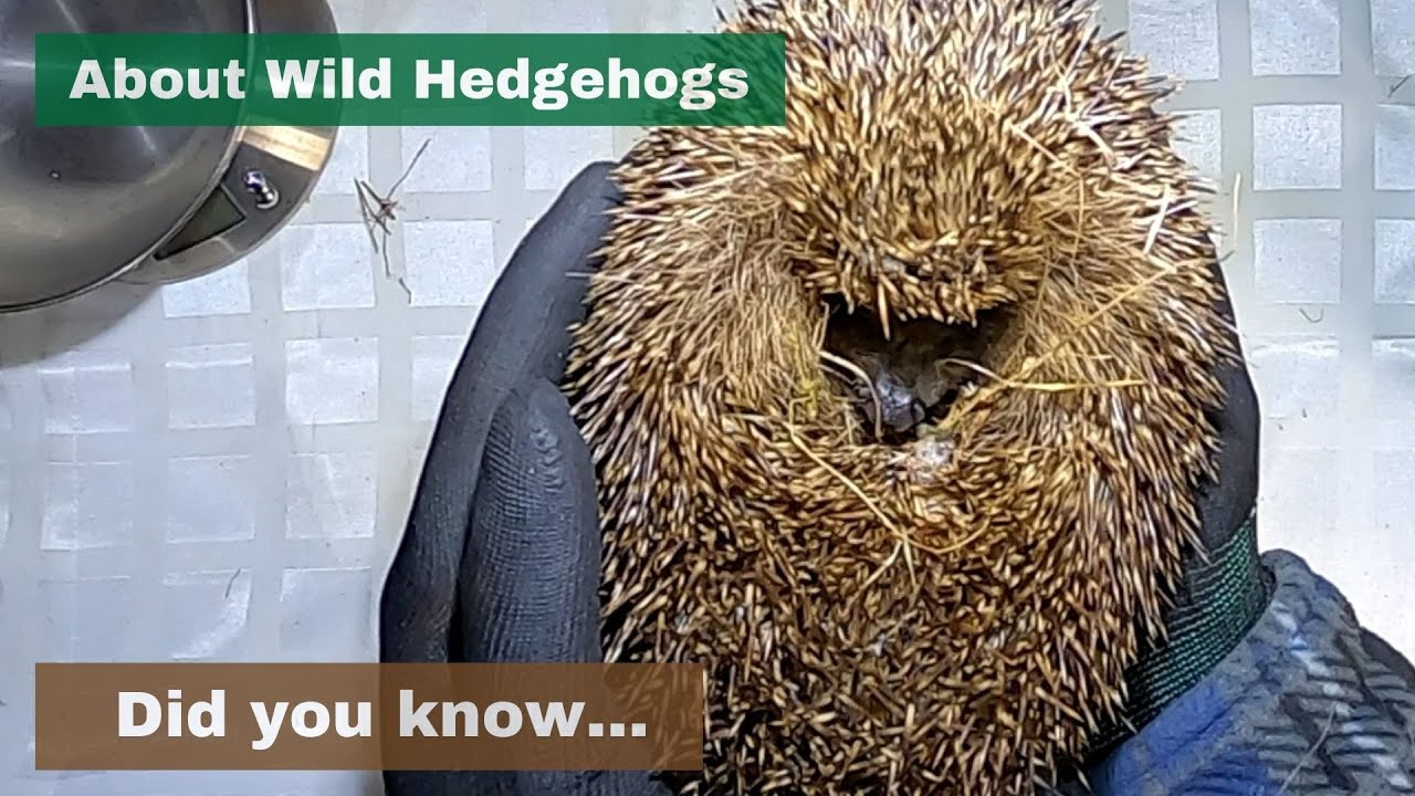 About Wild Hedgehogs - Did you know... - Hornbeam Wood Hedgehog Sanctuary