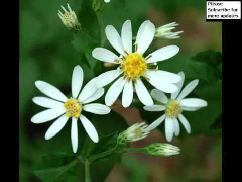 Decorative pic ideas of white asters flowers romance youtube decorative pic ideas of white asters flowers romance mightylinksfo