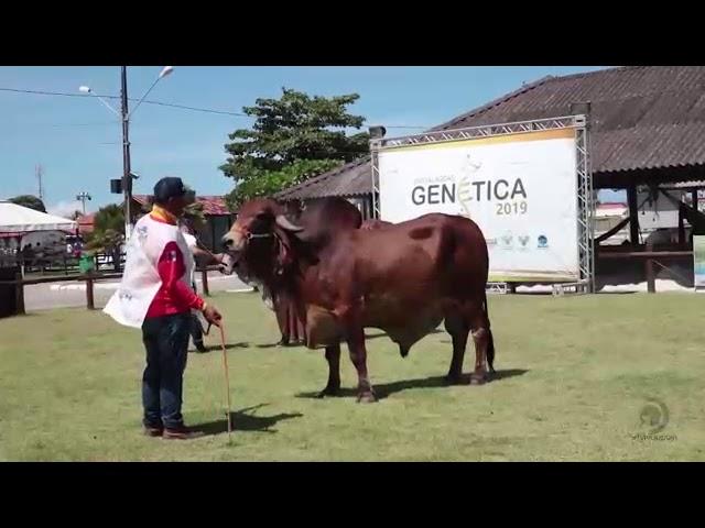Julgamentos das raças Gir e Girolando bateram recorde durante a Expo Alagoas Genética 10/06/2019