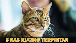 5 Ras Kucing Terpintar di Dunia