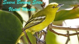 Suara Burung Sirtu Gacor Ngerol Untuk Master