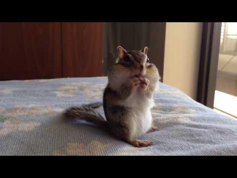 【Bikke】Chipmunk Bikke is having fun/シマリスビッケのノンビリ生活 - YouTube