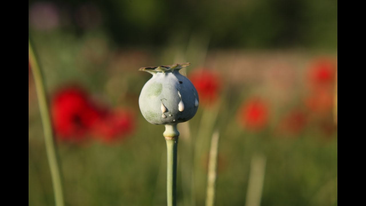 Why Opium Poppy Fields Are Rare In The Us Youtube