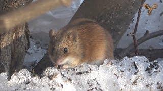 Полевая мышь и белка в Лосином острове / Striped field mouse and Red squirrel at Losiny Ostrov