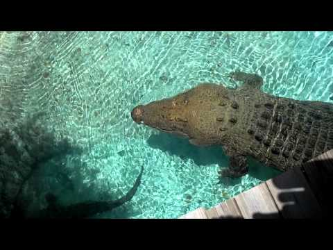 16 ft Saltwater Crocodile Jumping for Hat