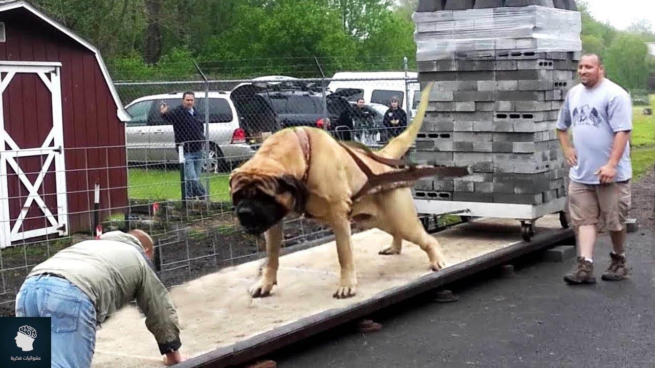 اقوى 10 كلاب حول العالم ..!!