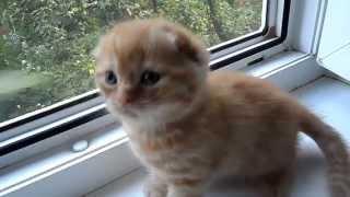 Шотландский вислоухий котёнок, 1 мес.