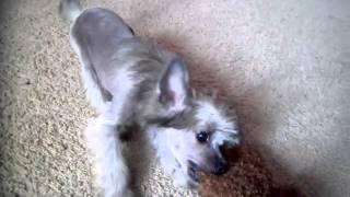 щенок китайской хохлатой 3 месяца