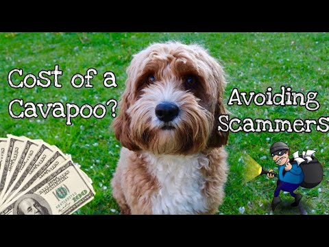 Puppy Scammers? How Much Does A Cavapoo Cost - What We Paid For Bailey