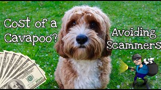 Puppy Scammers? How much does a Cavapoo cost  What we paid for Bailey