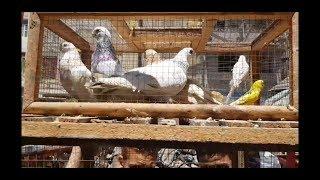 جولة بعد العيد (ج٢)#جمهورية_المحله_الكبري_للحمام 2019  Egyptian pigeon's market