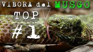 Video La Víbora más Bonita del Mundo 🐍 Protobothrops Mangshanensis 🔝 download MP3, 3GP, MP4, WEBM, AVI, FLV November 2018