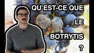 WID#1 : Le Botrytis (sélection de grains nobles)