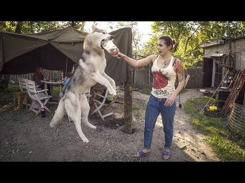 БАТЛ: Девушка против собак   Овчарка кавказская играет с хаски и маламутом