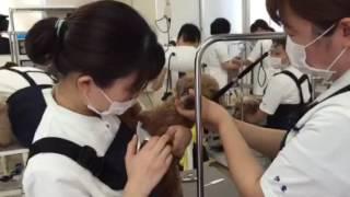 美容コース1年生が二人でわんちゃんを押さえ爪を切っていますが、中々...