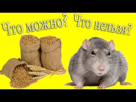 Чем кормить крыс? Что можно? Что нельзя? Рацион при аллергии
