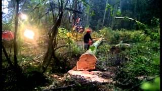 Valmet 921 & Chainsaw Felling Spruce