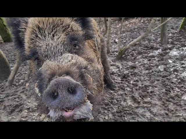 Wild Boar Broken Tusk