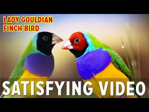 Lady Gouldian Finch Bird | Colorful Birds | Satisfying video