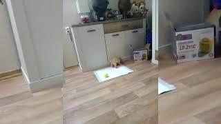 Американский кокер-спаниель, щенок Тина