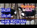Masteran Kicau Burung Kacer Suara Keras Dan Tajam Ngalas(.mp3 .mp4) Mp3 - Mp4 Download