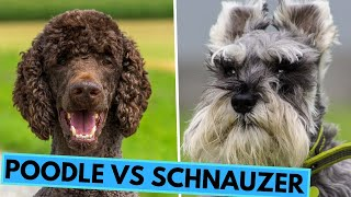 Poodle vs Schnauzer  Dog Breed Comparsion
