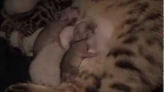Fennec Fox nursing on cat and growing up with kitten