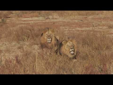 Breath Taking Lion Hunt