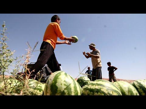 В Таджикистане собирают арбузы и дыни