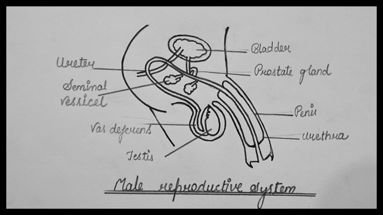 Male Reproductive System || How To Draw Male Reproductive ...