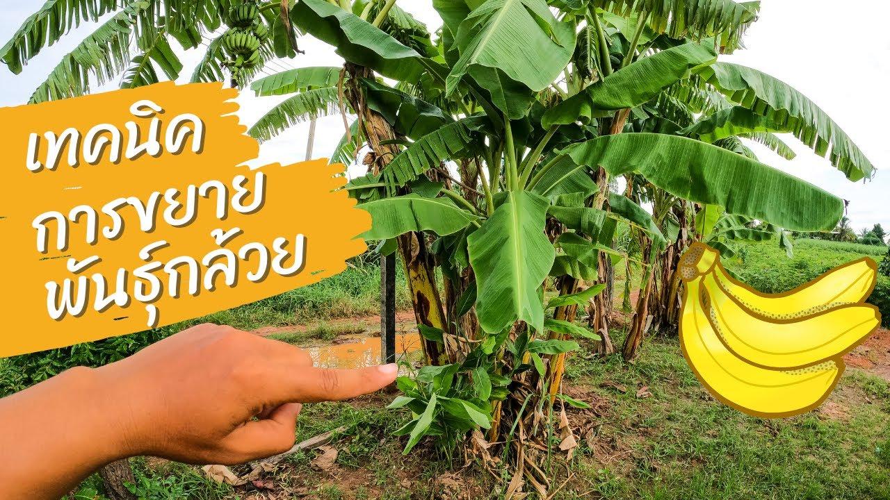 เทคนิคการขยายพันธุ์กล้วย ที่ง่ายแบบกล้วย ๆ 🍌🍌🍌🍌🍌