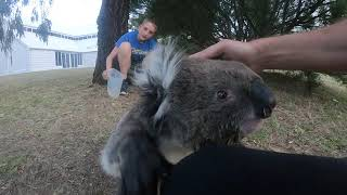 Friendly Koala Wants to be Picked up After Being Given Water