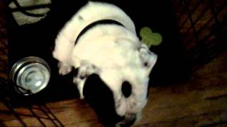 Bulldog Crate Training