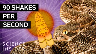 What's Inside A Rattlesnake's Tail?