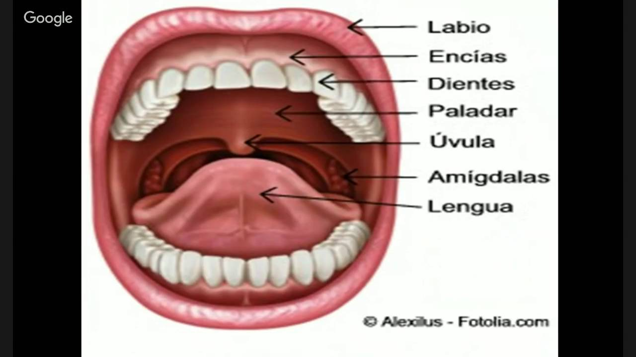 Generalidades anatomía digestiva 1 - YouTube