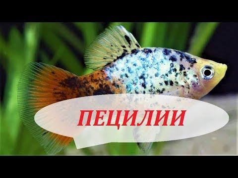 Пецилии в аквариуме. Размножение, содержание, уход и совместимость