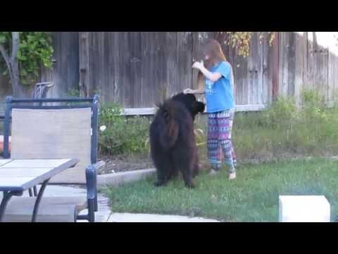 Little girl trains giant dog