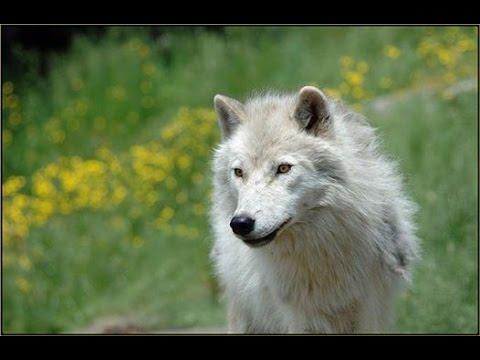 Indigenous Wolf Walk 2014