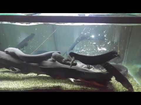 Feed 6 foot electric eel tank mate