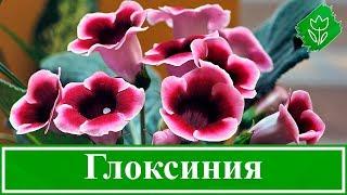 Цветок филодендрон – уход в домашних условиях