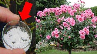 Esse PÓ faz qualquer roseira FLORIR o dobro – (USE E COMPROVE)