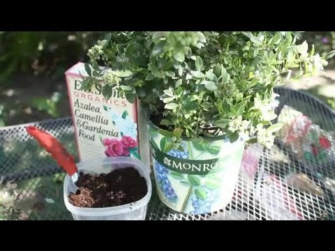 How To Take Care Of Potted Blueberry Bush Garden