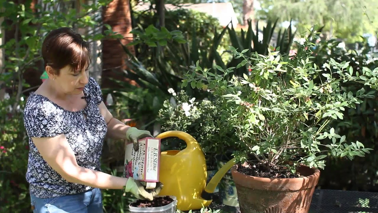 Merveilleux How To Take Care Of A Potted Blueberry Bush : Garden Space   YouTube