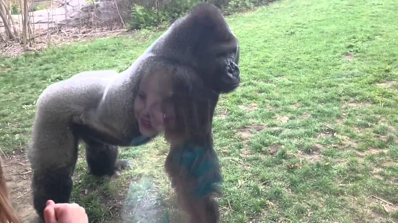 Angry Silverback Gorilla Breaks Window  Scares Zoo -5192
