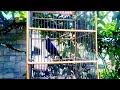 Sunda blue robin gacor ngeplong