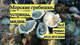 Морские гребешки, устрицы, мидии. Всё прямо под ногами / Scallops, oysters, mussels. Under your feet